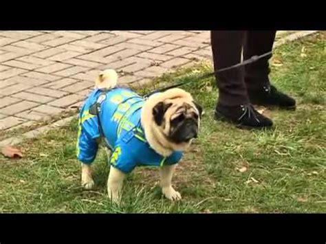 pug dress up 2016 hkkc 212 show pug funnydog tv