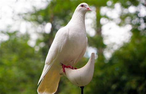 images of doves free photo dove bird nature peace white free image