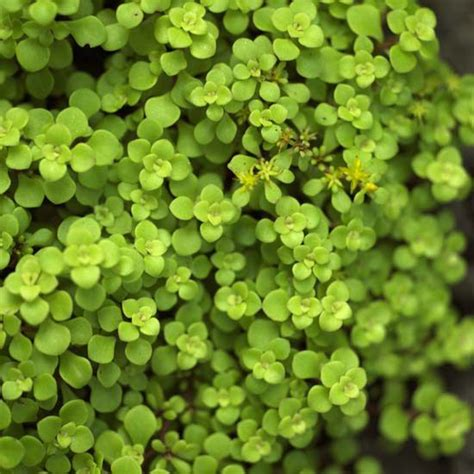 the 25 best sedum ground cover ideas on pinterest succulent ground cover plant covers and