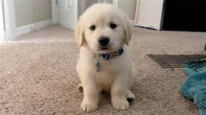Got a puppy cooper the 8 week old golden retriever funnydog tv