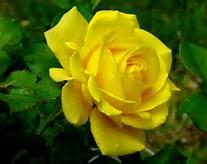 Beautiful Flowers Yellow Roses