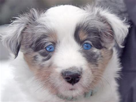 blue merle sheltie puppies for sale teacup sheltie for sale breeds picture
