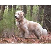 Description Golden Retriever Standing Tuckerjpg