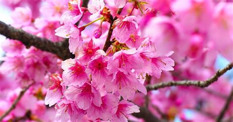 Beautifull Flower Lq flower photos most beautiful flowers in the world cherry blossom