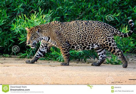 imagenes con jaguar jaguar cuidadoso en el movimiento foto de archivo imagen