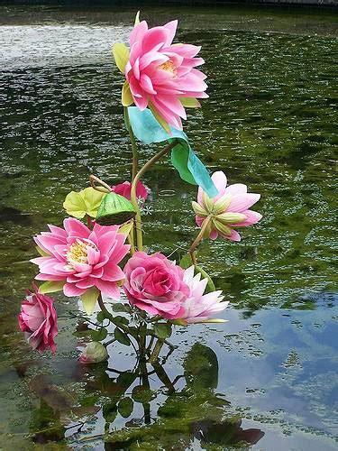 wallpaper kamal flower kamal ka phool wallpaper www pixshark com images
