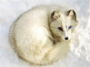 Arctic Fox With Blue Eyes » Home Design 2017