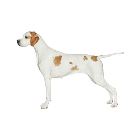 Pointer Lookup German Wirehaired Pointer Purina 174