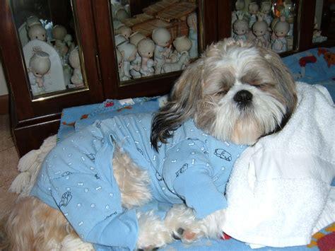 shih tzu pajamas shih tzu shih tzus and puppys on