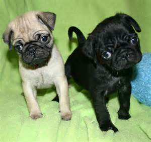 <strong>Pug</strong>_Puppies.jpg