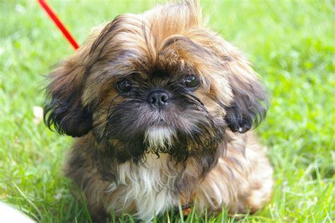 how big does a teacup shih tzu get do you the big health problems of tiny teacup dogs