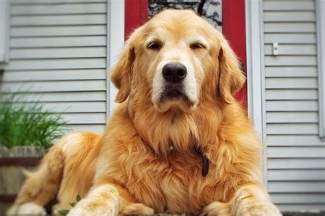 why are golden retrievers so friendly the best brush for a golden retriever pets principle