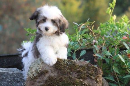 perro havanese havanese 3 perrospedia