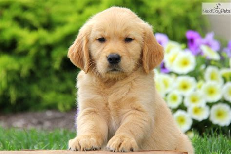 puppies available for adoption near me golden retriever puppy for sale near lancaster pennsylvania c386d667 0031