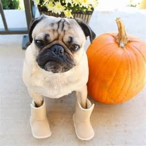 doug the pug instagram doug the pug instagram s hippest in fall bloom photo 8 tmz