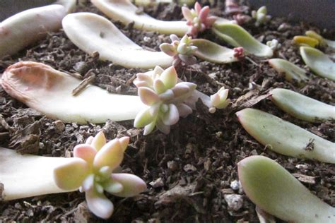 propagating succulents needles leaves