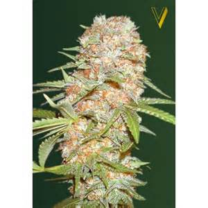 Bitcoin accepted here free seeds with every order guaranteed shipping