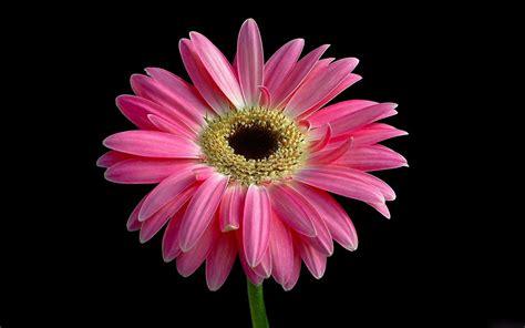 wallpaper flower gerbera pink daisy full hd wallpaper and background 1920x1200