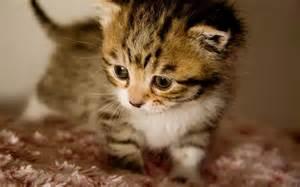 Cute-Kitten2.jpg