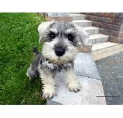 All Small Dogs Miniature Schnauzer