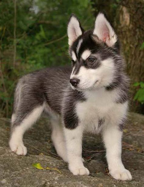husky puppy pictures puppy gallery pictures