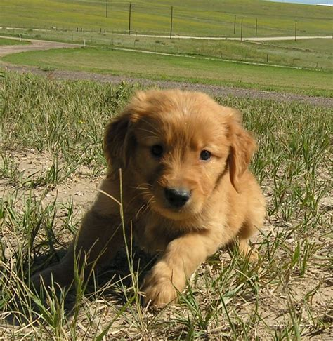 golden retriever breeders nz labrador retriever breeder scotia dogs our friends photo