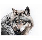 Pencil Drawing Of A Grey Wolf By JasminaSusak On DeviantArt