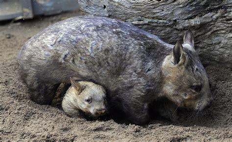 imagenes de animal wombat la mirada animal fotos de animales rtve es