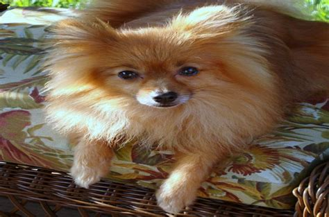 do pomeranian puppies shed pomeranian breeds 101 what you need to about this