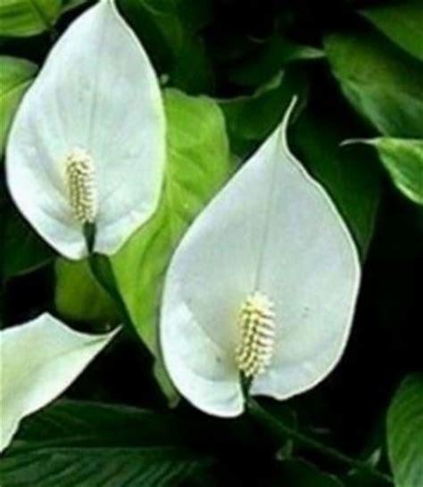 pianta con fiori bianchi tipo calla spatifillo spathiphyllum spathiphyllum piante da