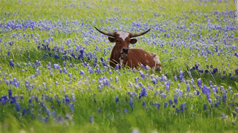 photos texas bluebonnets in full bloom