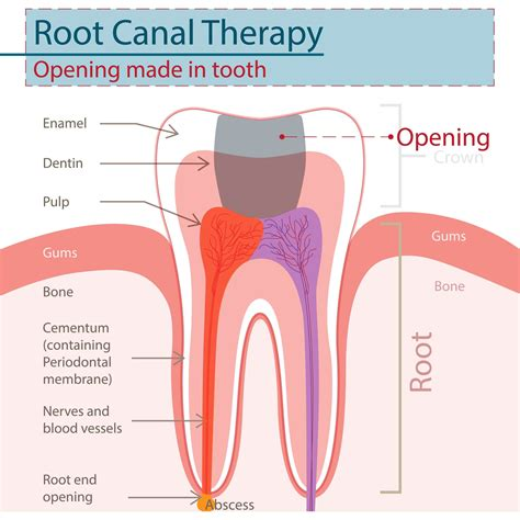 root canal diagram the ins and outs of a root canal procedure whitehall