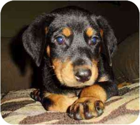 rottweiler doberman pinscher mix rotterman puppies 8 adopted puppy haughton la rottweiler doberman pinscher mix