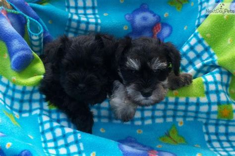 next day puppies 17 best images about akc schnauzer puppies on miniature schnauzer puppies