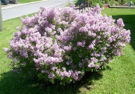 lilac bush lilac bushes mini lilac bush bushes pinterest