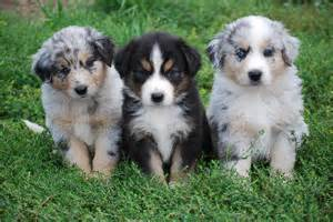 10 australian shepherds are task oriented dogs and always need to be
