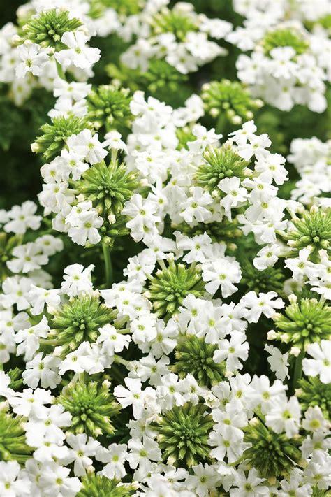 verbena shrub with white flowers babylon 174 white verbena hybrid proven winners
