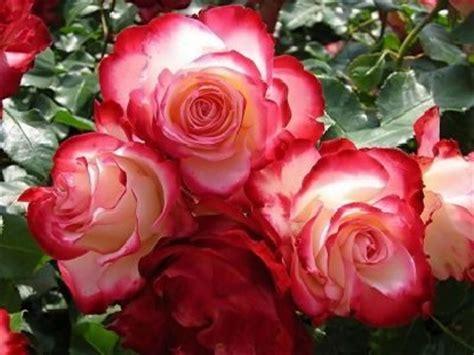 imagenes bellas rojas imagenes hermosas de rosas rojas para regalar a los amigos