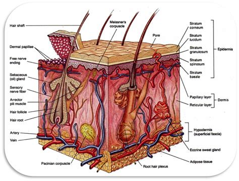 section 36 3 the integumentary system project glog by jman35000 publish with glogster