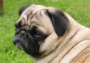<strong>Pug</strong>+Dog+7.jpg
