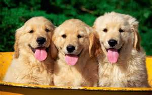Golden retriever puppies wallpapers pictures photos images