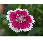 Free Picture &gt Flower Flowers Photos Of Dianthus