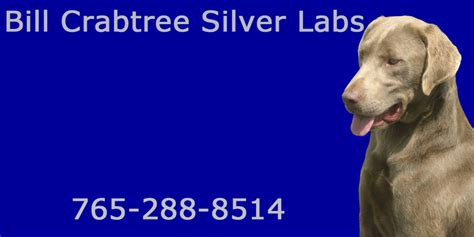 silver lab puppies for sale silver lab puppies for sale akc lab puppies for sale bc silver labs