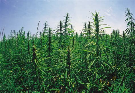 gmos are we crossing the tipping point huffpost image gallery marijuana field