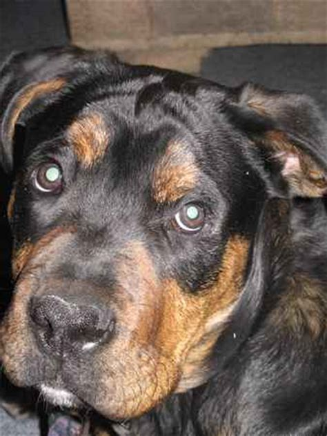 rottweiler puppies for sale in dallas area puppies for sale from breeders breeds picture