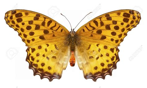 tigre y mariposa imagenes searching images quot tigre quot