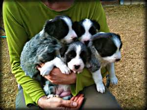 Go back gt gallery for gt rare border collie colors