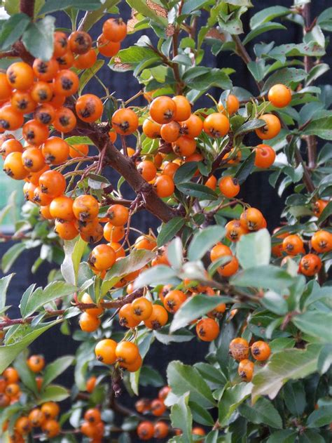 pyracantha teton evergreen shrub with orange yellow