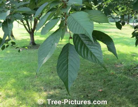 cherry tree unripe cherry leaf identification picture