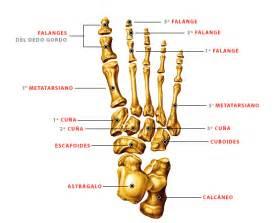 C 243 mo se llaman los dedos del pie